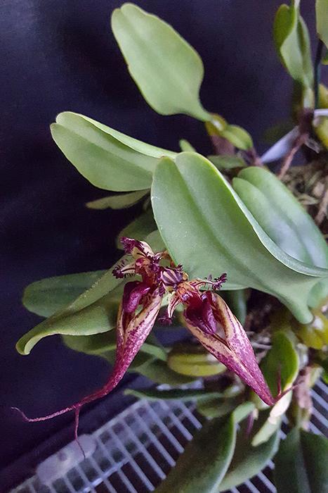 Name:  Bulbophyllum fascinator 700a.jpg Views: 244 Size:  359.2 KB