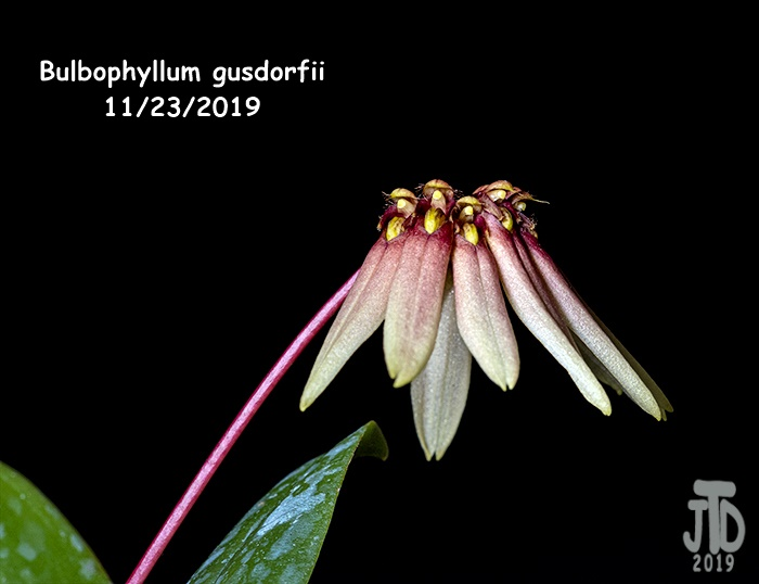 Name:  Bulbophyllum gusdorfii5 11222019.jpg Views: 50 Size:  79.8 KB