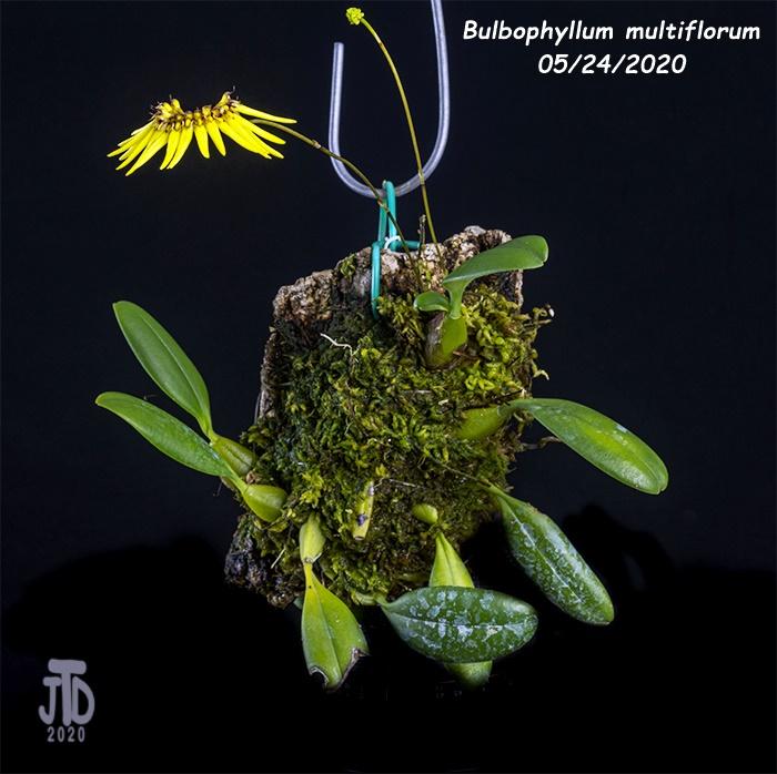 Name:  Bulbophyllum multiflorum1 05242020.jpg Views: 28 Size:  148.5 KB
