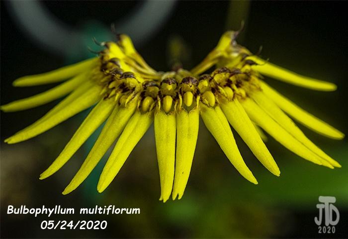 Name:  Bulbophyllum multiflorum2 05242020.jpg Views: 26 Size:  125.5 KB