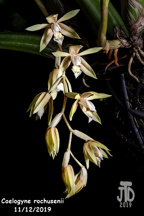 Name:  Coelogyne rochusenii5 1122019.jpg Views: 88 Size:  117.7 KB