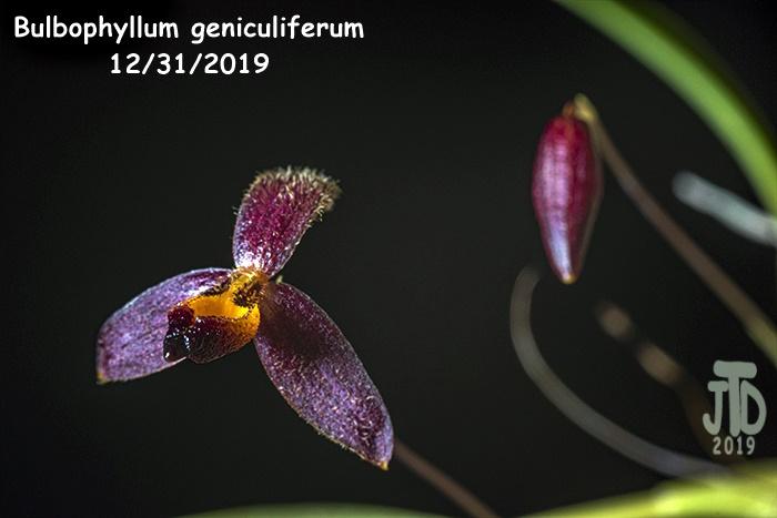 Name:  Bulbophyllum geniculiferum1 12312019.jpg Views: 74 Size:  98.0 KB