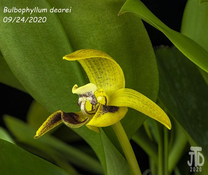 Name:  Bulbophyllum dearei4 09242020.jpg Views: 31 Size:  162.5 KB