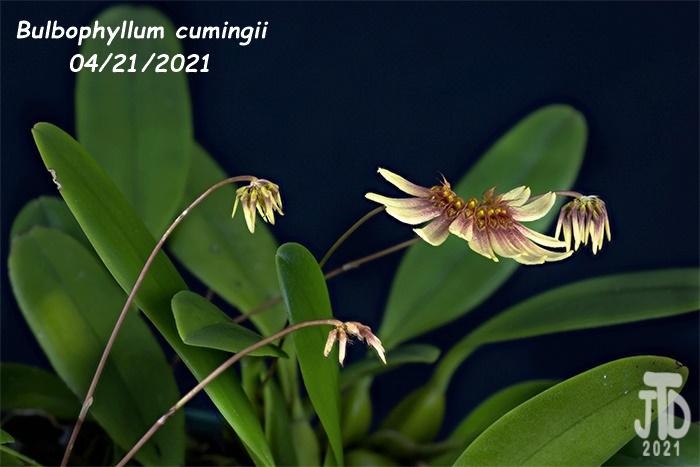 Name:  Bulbophyllum cumingii4 04212021.jpg Views: 42 Size:  145.0 KB