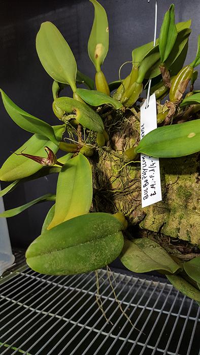 Name:  Bulbophyllum fascinator 5.jpg Views: 106 Size:  320.5 KB