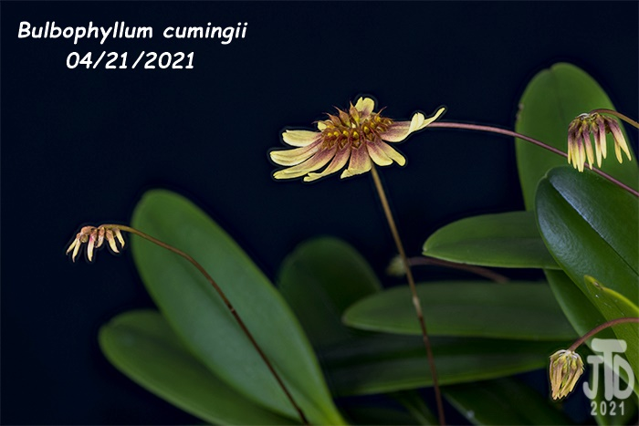 Name:  Bulbophyllum cumingii2 04212021.jpg Views: 46 Size:  115.1 KB