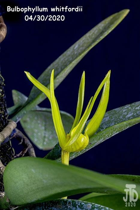 Name:  Bulbophyllum whitfordii3 04302020.jpg Views: 68 Size:  102.3 KB