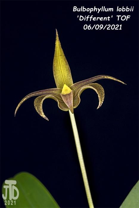 Name:  Bulbophyllum lobbii 'Different' TOF2 06092021.jpg Views: 37 Size:  88.5 KB