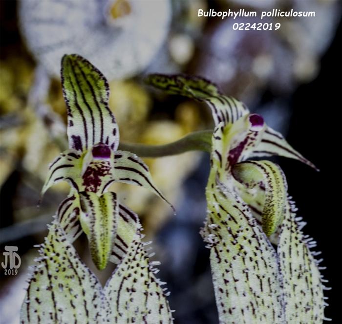 Name:  Bulbophyllum polliculosum3 02242019.jpg Views: 179 Size:  324.6 KB