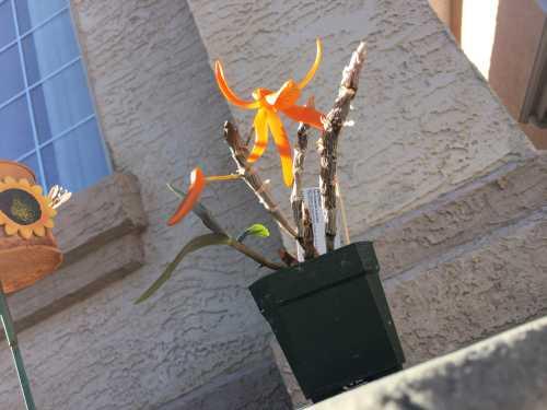 Name:  Dendrobium unicum May 2018 02.JPG Views: 72 Size:  34.9 KB