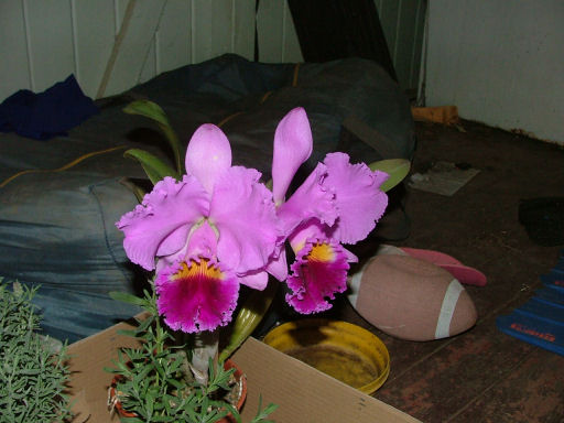 Name:  orchid unknown.jpg Views: 235 Size:  49.0 KB