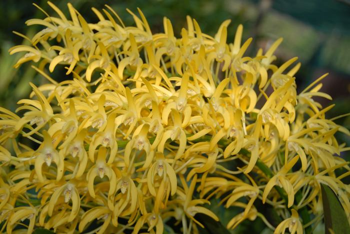 Name:  2012-11-9 St Ives Show and Flowering 076.JPG Views: 361 Size:  61.5 KB