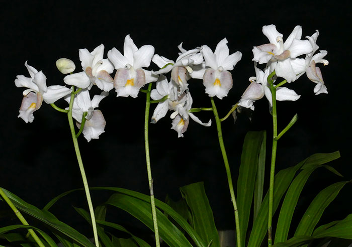 Name:  Gastrorchis-humblottii-var-Schlecter.jpg Views: 67 Size:  63.0 KB