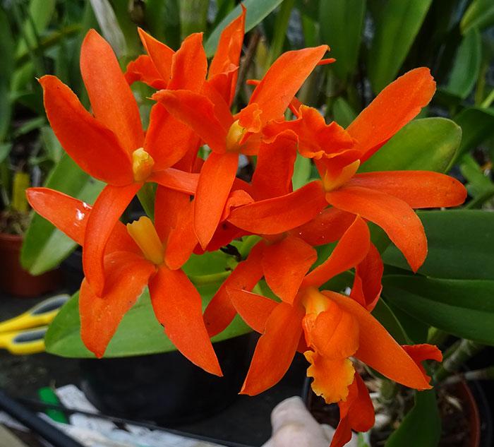 Name:  Rcl-Young-Min-Orange.jpg Views: 51 Size:  88.9 KB