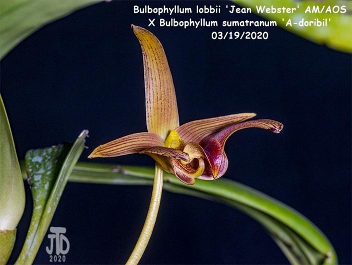 Name:  Bulbophyllum lobbii 'Jean Webster' AMAOS X Bulb sumatranum 'A-doribil'5 03182020.jpg Views: 53 Size:  135.3 KB