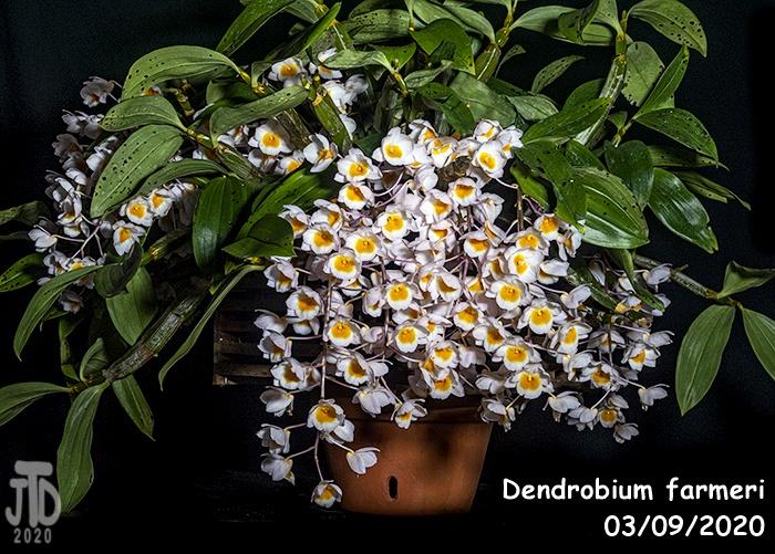 Name:  Dendrobium farmeri1 03102020.jpg Views: 71 Size:  263.1 KB