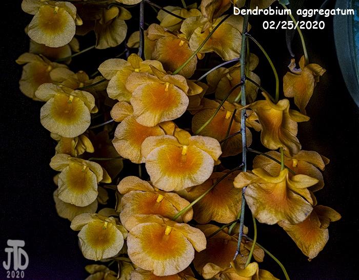 Name:  Dendrobium aggregatum2 02252020.jpg Views: 53 Size:  202.8 KB