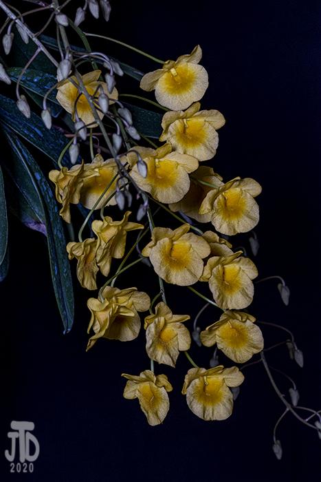 Name:  Dendrobium aggregatum2 02172020.jpg Views: 51 Size:  334.5 KB