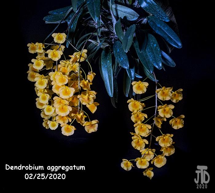 Name:  Dendrobium aggregatum5 02252020.jpg Views: 55 Size:  211.8 KB