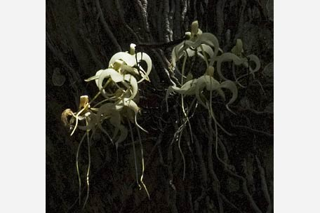 Name:  ghost orchid.jpg