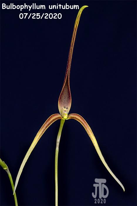 Name:  Bulbophyllum unitubum4 07232020.jpg Views: 48 Size:  87.3 KB