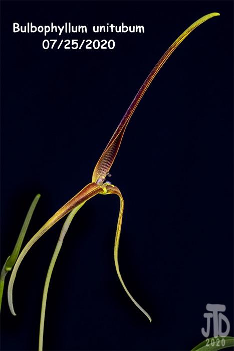 Name:  Bulbophyllum unitubum5 07232020.jpg Views: 50 Size:  86.0 KB