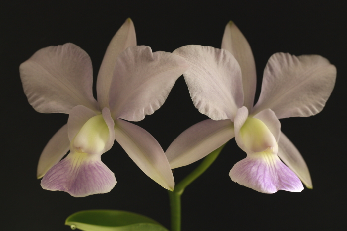 Name:  Cattleya walkeriana coerulea.jpg