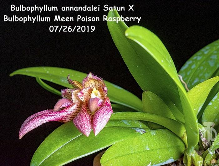 Name:  Bulbophyllum annandalei Satun X Bulbo. Meen Poison Raspberry5 07262019.jpg Views: 68 Size:  191.7 KB