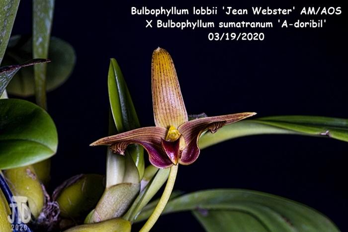 Name:  Bulbophyllum lobbii 'Jean Webster' AMAOS X Bulb sumatranum 'A-doribil'1 03182020.jpg Views: 68 Size:  102.4 KB