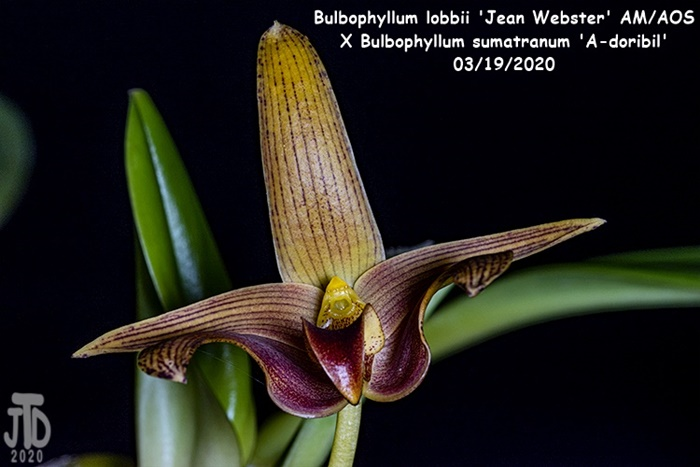 Name:  Bulbophyllum lobbii 'Jean Webster' AMAOS X Bulb sumatranum 'A-doribil'4 03182020.jpg Views: 70 Size:  101.7 KB