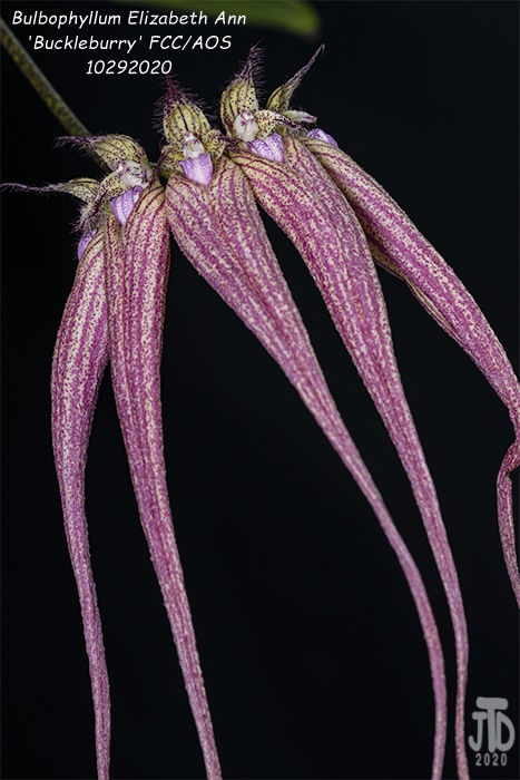 Name:  Bulbophyllum Elizabeth Ann 'Buckleburry'5 10292020.jpg