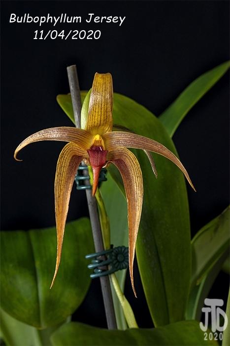 Name:  Bulbophyllum Jersey3 11042020.jpg Views: 56 Size:  215.7 KB