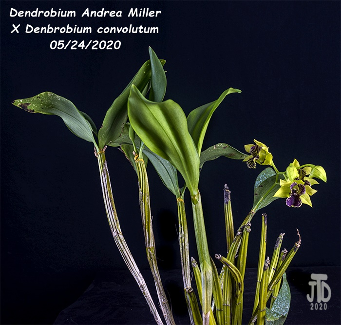 Name:  Dendrobium Andrea Miller X Dendrobium convolutum1 05242020.jpg Views: 52 Size:  192.3 KB