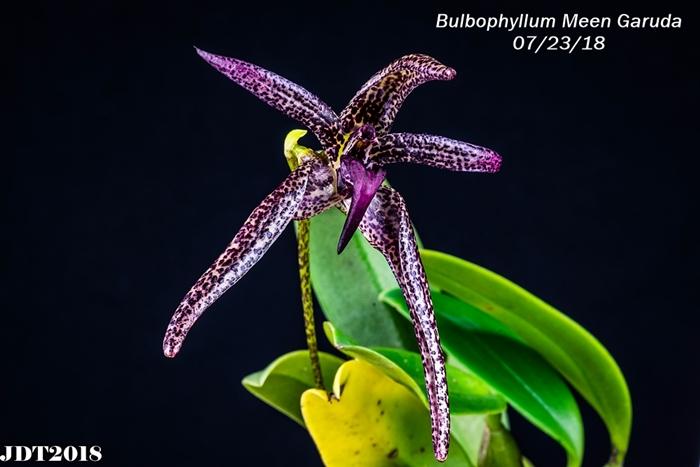 Name:  Bulbophyllum Meen Garuda1 100mm 072218.jpg Views: 222 Size:  205.1 KB