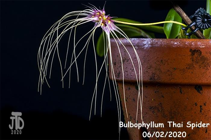 Name:  Bulbophyllum Thai Spider5 06022020.jpg Views: 79 Size:  176.9 KB