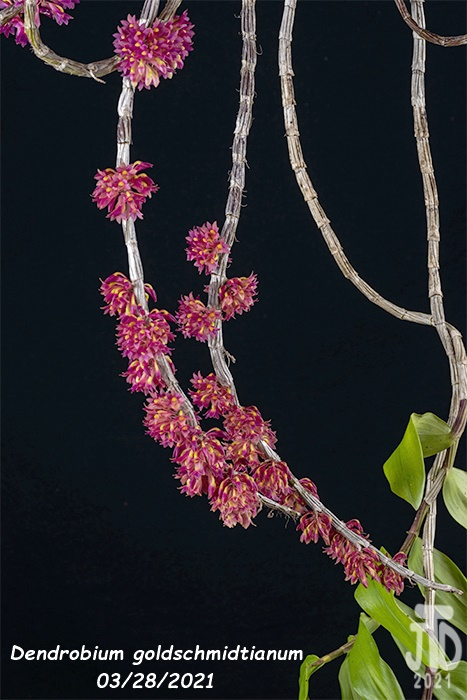 Name:  Dendrobium goldschmidtianum2 03282021.jpg Views: 80 Size:  132.6 KB