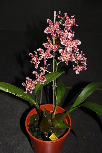 Name:  Orchideeën+Maart+2010+058[1].jpg Views: 5605 Size:  41.3 KB