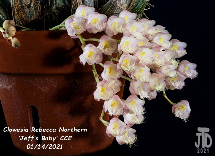 Name:  Clowesia Rebecca Northern 'Jeff's Baby' CCE2 01132021.jpg Views: 89 Size:  149.6 KB