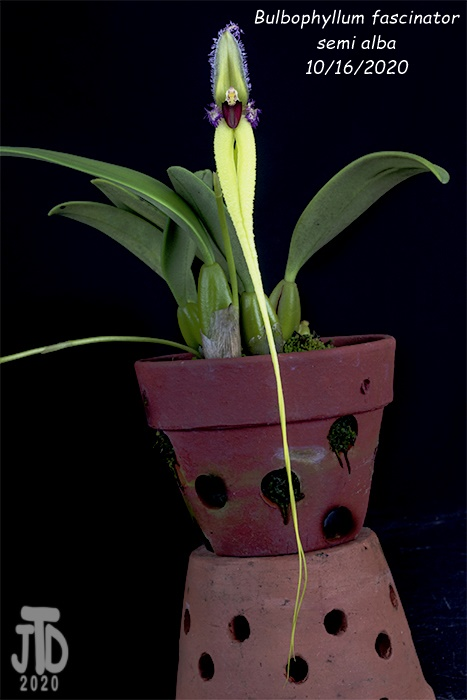 Name:  Bulbophyllum fascinator semi alba3 10162020.jpg Views: 37 Size:  86.3 KB