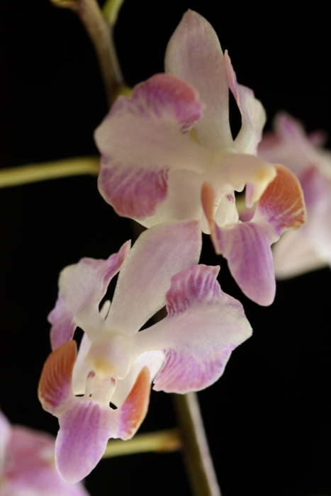 Name:  Phal cherrima champorensis.jpg
