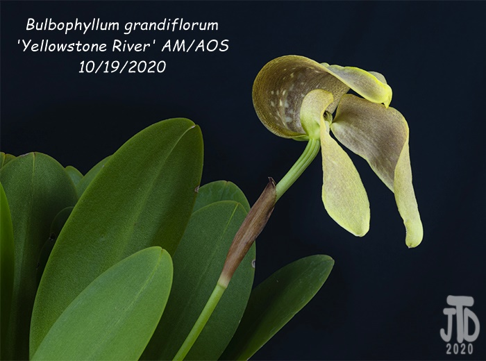 Name:  Bulbophyllum grandiflorum 'Yellowstone River' AMAOS2 10192020.jpg Views: 48 Size:  104.6 KB