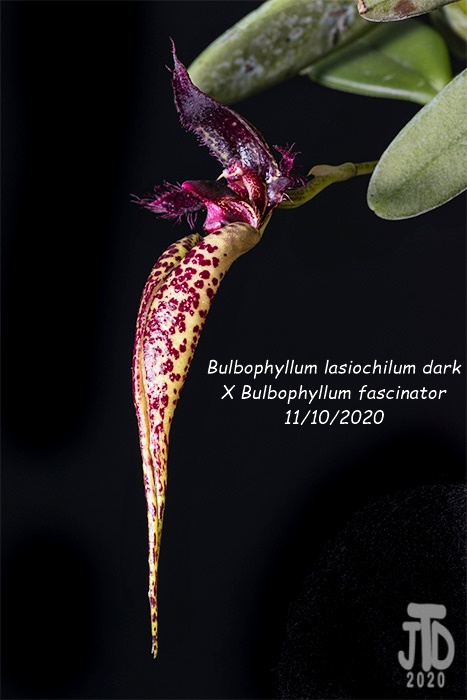 Name:  Bulbophyllum lasiochilum darkxB. fascinator2 11102020.jpg