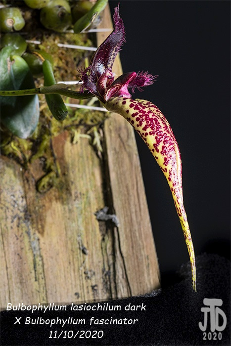 Name:  Bulbophyllum lasiochilum darkxB. fascinator4 11102020.jpg