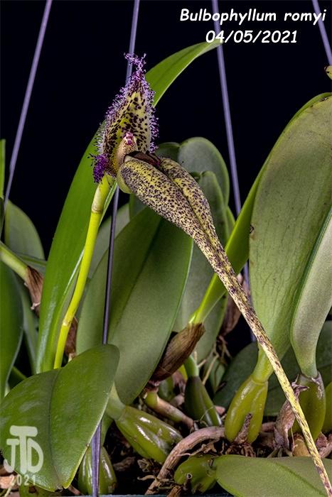 Name:  Bulbophyllum romyi1 0405221.jpg Views: 57 Size:  158.9 KB