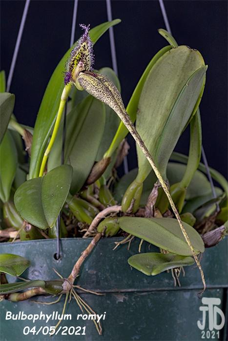 Name:  Bulbophyllum romyi4 0405221.jpg Views: 54 Size:  133.2 KB