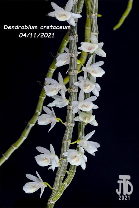 Name:  Dendrobium cretaceum3 04112021.jpg Views: 68 Size:  152.0 KB