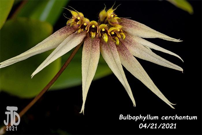 Name:  Bulbophyllum cerchantum1 04212021jpg.jpg Views: 52 Size:  140.8 KB
