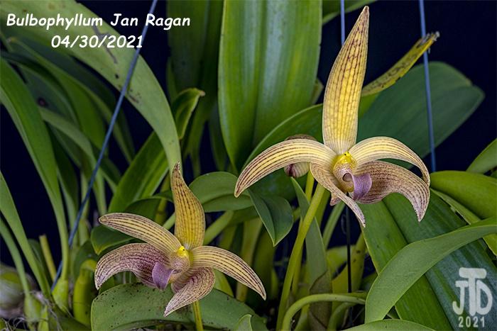Name:  Bulbophyllum Jan Ragan (lobbii 'Kathy's Gold' AM-AOS X B. facetum 'Wright'}3 04302021.jpg Views: 26 Size:  144.0 KB