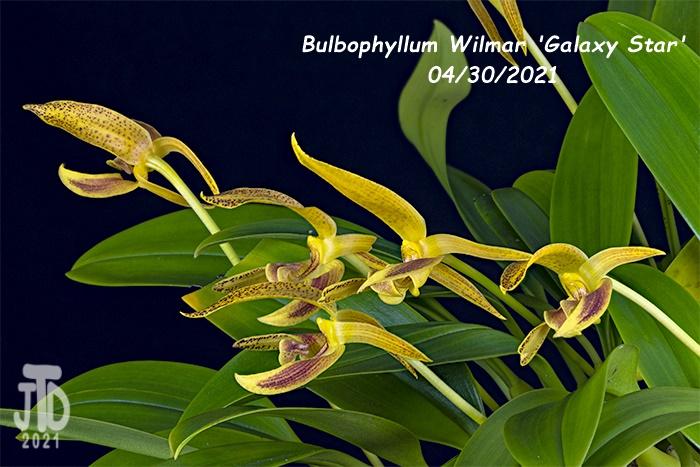 Name:  Bulbophyllum Wilmar 'Galaxy Star'4 04302021.jpg Views: 33 Size:  151.0 KB