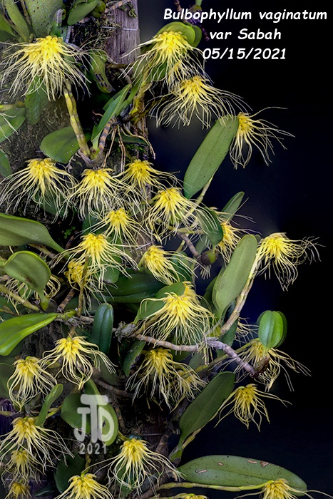 Name:  Bulbophyllum vaginatum var Sabah2 05152021.jpg Views: 49 Size:  215.0 KB